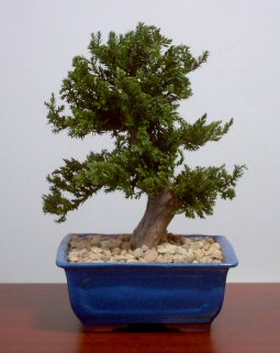 Preserved Juniper Bonsai Tree-Upright Style (Not a living tree)