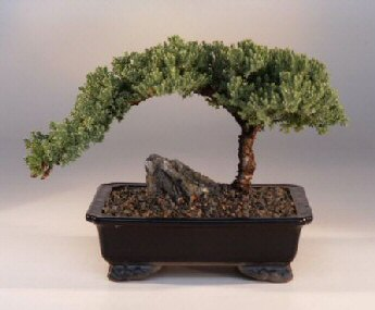 Juniper Bonsai Tree - Large (Juniper Procumbens 'nana')