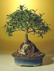 Willow Leaf Ficus Bonsai - Root over Rock