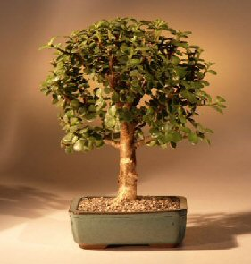 Baby Jadei Tree - Med (Portulacaria Afra)