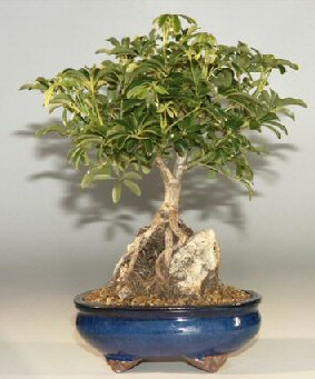 Hawaiian Umbrella Bonsai Tree - Lg. Rock (Arboricola Schefflera)