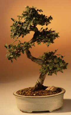 Chinese Elm Bonsai Tree - Large Curved Trunk (Ulmus Parvifolia)
