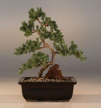 "Juniper ""Karate Kid"" Bonsai - Med. (Juniper Procumbens ""nana"")"