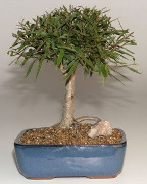 Willow Leaf Ficus Bonsai - Medium (Ficus nerifolia/salisafolia)