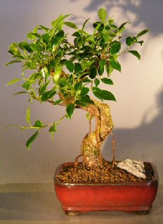 Ficus Retusa Bonsai (Medium) Curved Shaped Trunk