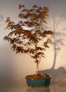 Japanese Red Maple Bonsai - Large (Acer palmatum 'atropurpurea')