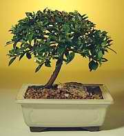 Brush Cherry Bonsai Tree - Small (Eugenia myrtifolia)