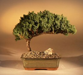 Bonsai - Junipers
