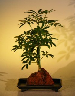 Hawaiian Umbrella - Small (Arboricola schefflera 'luseanne')