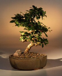 Fukien Tea - Curved Trunk - Medium (Ehretia microphylla)
