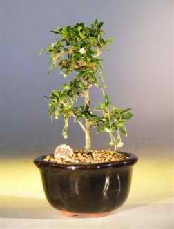 Fukien Tea - Straight Trunk - Small (Ehretia microphylla)