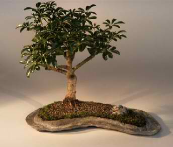 Hawaiian Umbrella Bonsai on a Rock Slab (Arboricola schefflera)