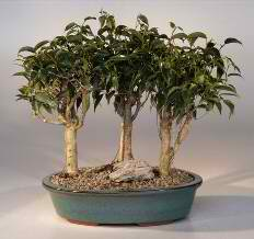 Oriental Ficus Bonsai-3 Tree Grp (Ficus benjamina 'orientalis') - Click Image to Close