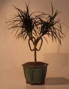 Dracena Bonsai Tree - Heart Shaped (Marginata 'Pamela Twist')