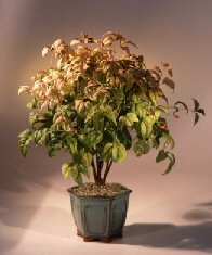 Flowering Heavenly Bamboo Bonsai ( Nandina 'firepower')