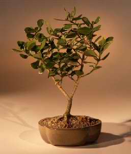 Tropical Dwarf Apple Bonsai Tree (Clusia rosea 'nana')