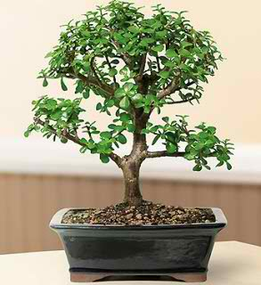 Baby Jade Bonsai Tree - Large (Portulacaria afra)