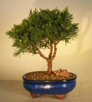 Shimpaku Bonsai Tree - Medium (Shimpaku itoigawa)