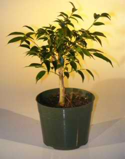 Pre Bonsai Ficus Midnight Bonsai - Large (Benjamina 'midnight')