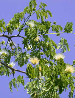 Brazilian Raintree - Medium (Pithecellobium tortum) - Click Image to Close