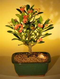 Crown of Thorns - Red / Salmon (Euphorbia milii)
