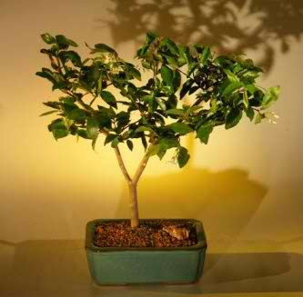 Water Jasmine Bonsai Tree - Medium (Wrightia religiosa)