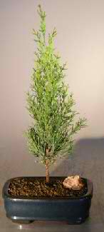 Italian Cypress Evergreen - Medium (cupressus sempervirens)