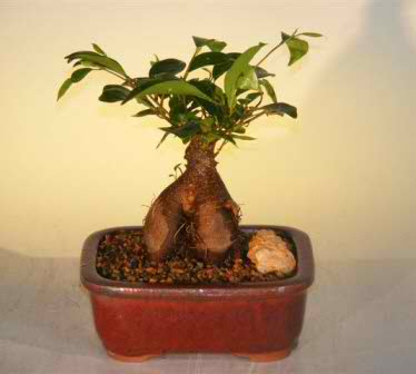 Ginseng Ficus Bonsai Tree - Small (Ficus Retusa)