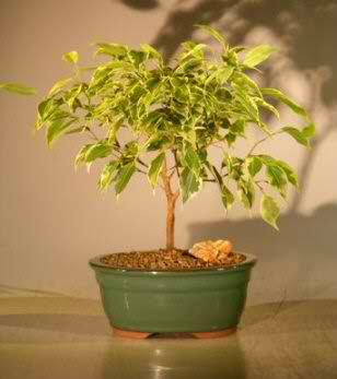 Ficus Bonsai Tree Small - Variegated (Ficus benjamina)