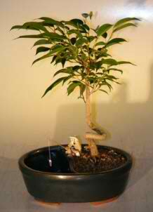 Ficus Bonsai Tree - Coiled Trunk (Ficus orientalis)