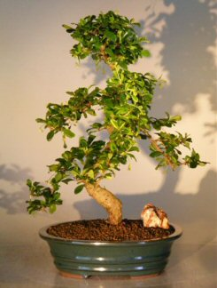 Fukien Tea - Curved Trunk - XL (Ehretia microphylla)