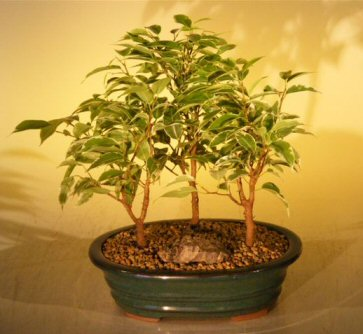 Ficus Bonsai - 3 Tree Forest Grp - Variegated (Ficus benjamina)