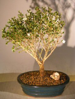 Bonsai Tree of a Thousand Stars (Serissa Japonica)
