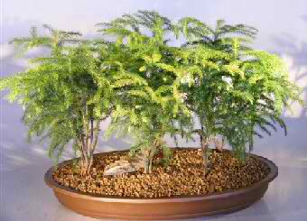 Norfolk Island Pine - 7 Tree Forest Grp (Araucaria heterophila) - Click Image to Close