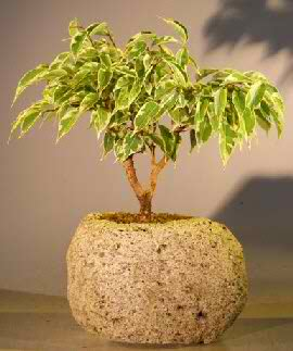 Ficus Bonsai Tree - Variegated in lava rock (Ficus benjamina)