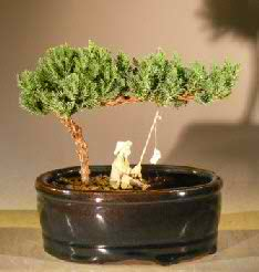 Juniper - Water/Land Container-Small (Juniper procumbens 'nana')