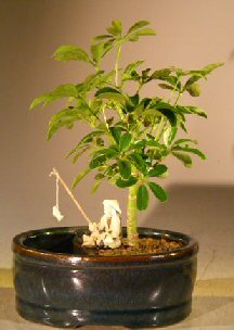Hawaiian Umbrella Bonsai Tree - Small (Arboricola schefflera)