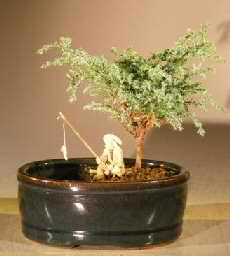 Blue Moss Cypress Bonsai Tree in Water/Land Container - Small