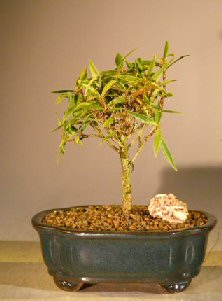 Willow Leaf Ficus Bonsai - Small (Ficus nerifolia/salisafolia)