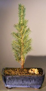 Colorado Blue Spruce Bonsai Tree - Medium (Picea pungens)