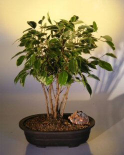 Ficus Bonsai Tree - Variegated Forest Group (Ficus benjamina)