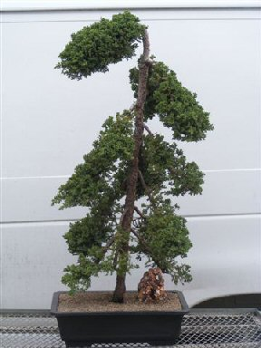 Juniper Bonsai Tree - Pom Pom Style (Juniper procumbens 'nana')