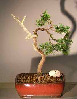 Shimpaku Juniper Bonsai Tree - Trained (Juniper chinensis)