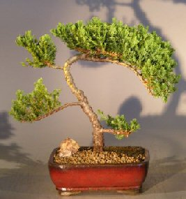 Juniper Bonsai Tree - Trained (Juniper procumbens 'nana') - Click Image to Close