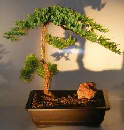 Juniper Bonsai Tree - Trained (Juniper procumbens 'nana')