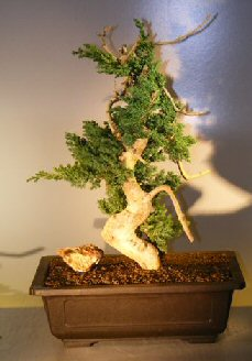 Juniper Bonsai Tree - Phoenix Graft (Juniper procumbens 'nana')