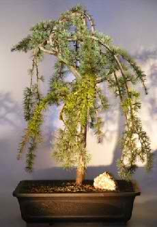 Weeping Atlas Blue Cedar Bonsai Tree (Cedrus glauca pendula)