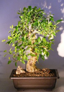 Ficus Retusa Bonsai Tree with Curved Trunk & Tiered Branch
