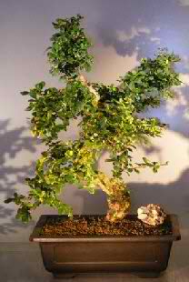 Fukien Tea - Curved Trunk & Tiered Branch (Ehretia microphylla)