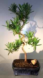 Podocarpus Bonsai Tree Coiled Trunk (Podocarpus macrophyllus)